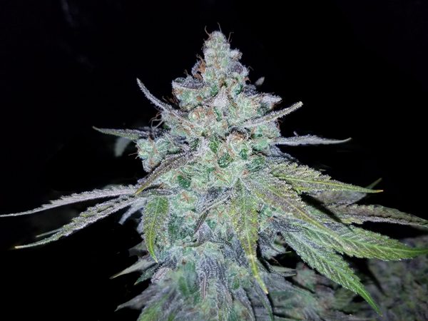 Blue Blazes Blue Dream Seeds